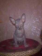 Котенок Донского сфинкса
