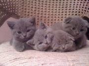 шотландских котят