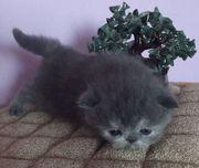 Продам персидских и экзотических котят экстремального типа