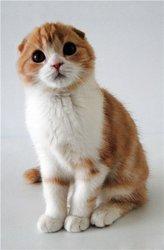 Настоящие Шотландские вислоухие котята