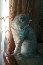 Нужен срочно кот скотиш-страйт для вязки !!!!
