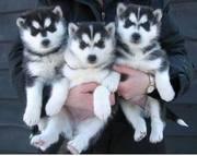 симпатичные хаски щенки доступны уже сейчас