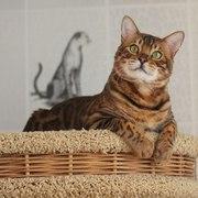 Мини леопарды,  бенгальские котята с документами