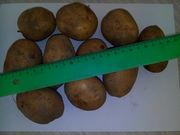 Семена картофеля Адретта