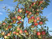 Саженцы плодовых деревьев,  кустарники,  виноград,  клубника,  туи.