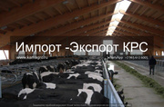 Продажа коров дойных, нетелей молочных пород